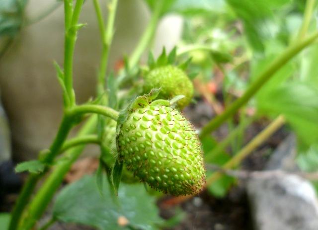 green strawberry