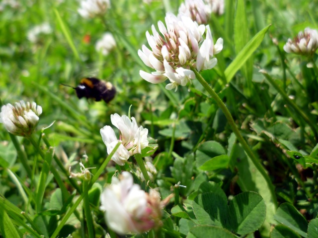 bee in clover