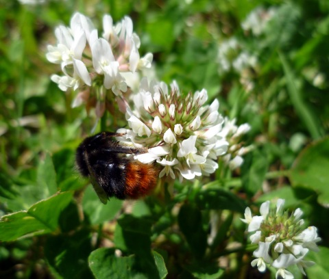bumble bee in clover