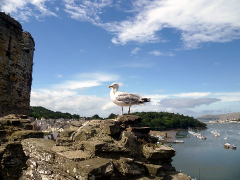 castle seagull