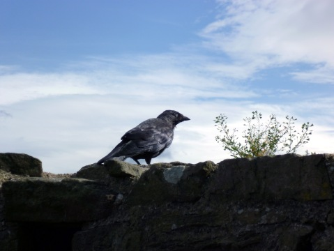 jackdaw on castle ruins