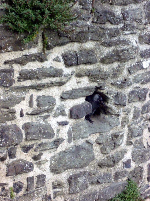 jackdaw in town wall